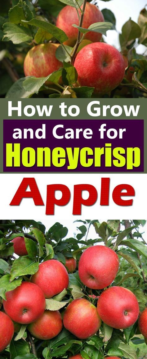 """Learn how to grow Honeycrisp apple tree. Honeycrisp apples are growing in popularity for their exceptional freshness, sweet taste and crisp and juicy flavor. They are a cross between """"Macoun"""" and Honeygold"""" apples."""