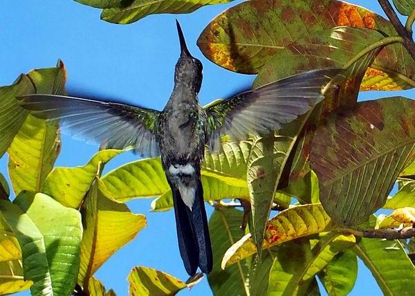 A diferencia de las de otras aves, las alas del zunzún se conectan con el cuerpo sólo desde la coyuntura de la espalda. Esta adaptación le permite al ala rotar casi 180 grados. Foto Abel Rojas Barallobre