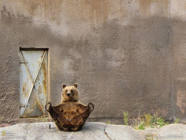 """Finlandia Fotografia di Mela Penca Mimmi, l'orso bruno, mostra le sue abilità ginniche durante un pomeriggiodi strectching allo zoo di Ähtäri. Nonostante l'intensa calura estiva, questo buffo """"residente"""" dello zoo alza le zampe per qualche minuto alla volta, mimando pose imparate dalla madre."""