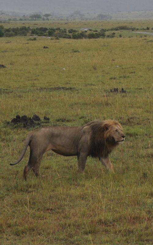 Consejos para viajar a Kenia en www.espressofiorentino.com #Kenia #viajar #viajes #África #león