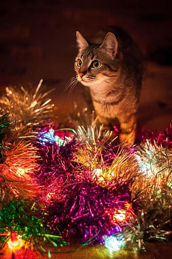 101 best Cats in Christmas images on Pinterest | Christmas animals ...