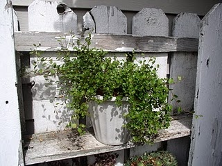 angel vine on old shabby shelf