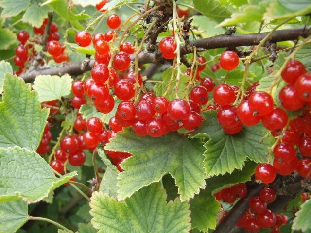 Baumschule Eggert - Blütensträucher, Baumschulen, Heckenpflanzen - Rote Johannisbeeren, Rote Johannisbeere, Ribes rubrum, Rovada Rote Johannisbeere
