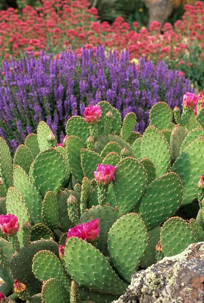 Prickly Pear Cactus, lavender, and Indian paint brush. Texas