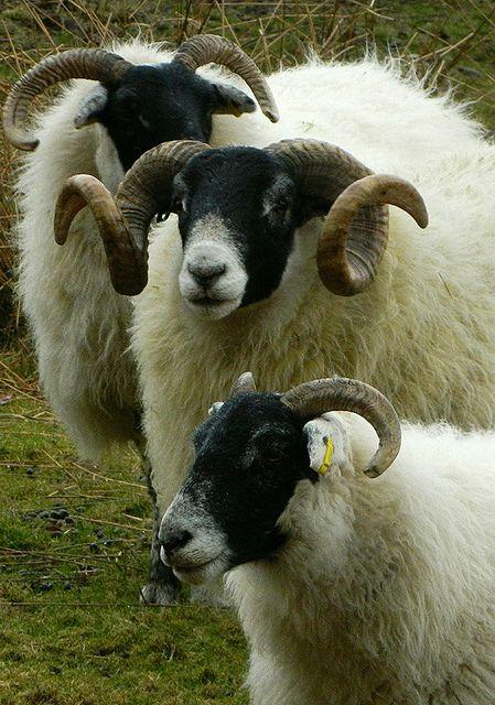 Scottish Blackface sheep                                                                                                                                                                                 More