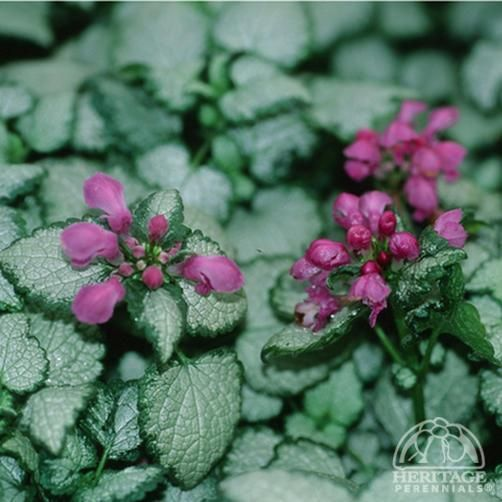 1000 images about lamium on pinterest pewter fisher for Low maintenance perennials for shade