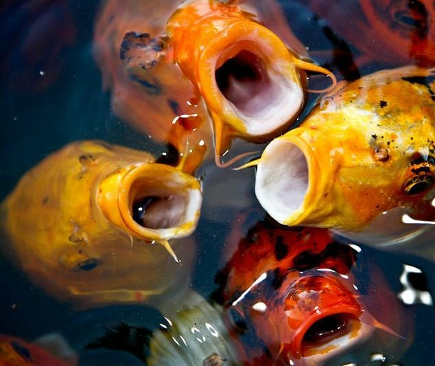 26 Best Images About Koi On Pinterest Blue Orange A