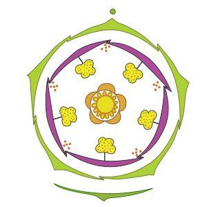 Диаграмма цветка примулы.  Представители рода Первоцвет — многолетние, реже двулетние и однолетние травы.    Листья цельные, образуют прикорневую розетку. Листья морщинистые и покрыты волосками.    Цветки пятичленные, правильной формы, разнообразных расцветок и оттенков, одиночные или собраны в кистевидные или зонтиковидные соцветия на концах безлистных стеблей.  Плод — коробочка.