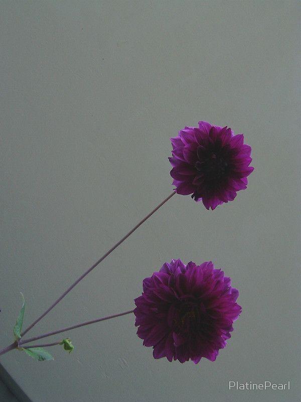 two dahlia