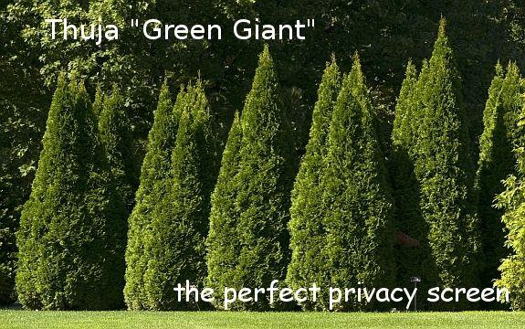9 best deer resistant plants images on pinterest deer resistant plants green giant arborvitae. Black Bedroom Furniture Sets. Home Design Ideas