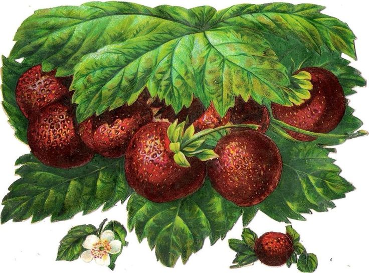 Oblaten Glanzbild scrap die cut chromo Erdbeeren XL 16cm strawberry Obst fruit