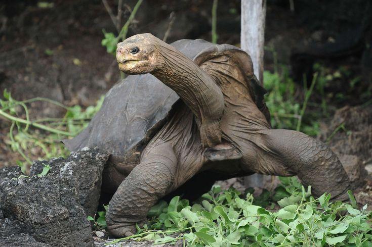 Ausgestorbene Galapagos Schildkröte