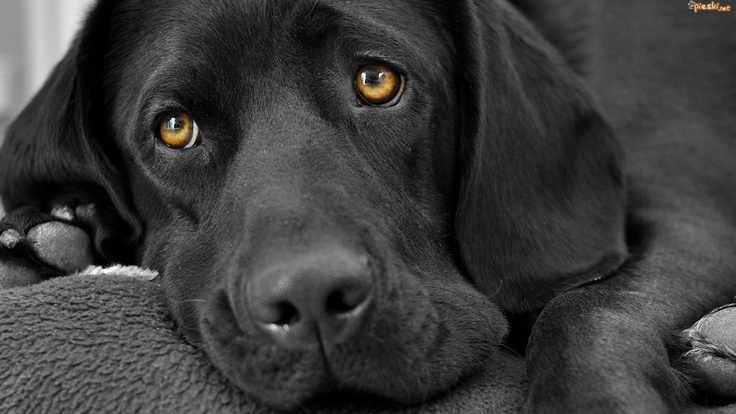 labrador retrievers | Pies Czarny, Labrador, Retriever