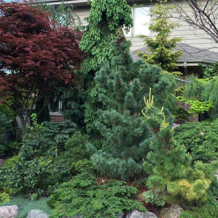 California Christmas Tree Cedrus Deodara: 170 Best Images About Conifers Among Us On Pinterest