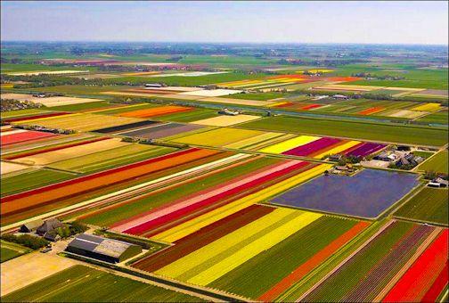 tulip landscape spring dutch holland farm country