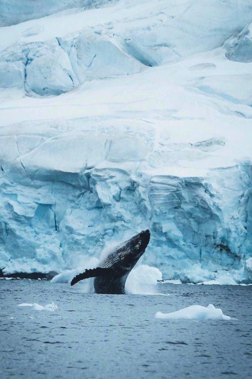 souhailbog Gentle humpback whales By Hannes Becker | More Source: instagram.com