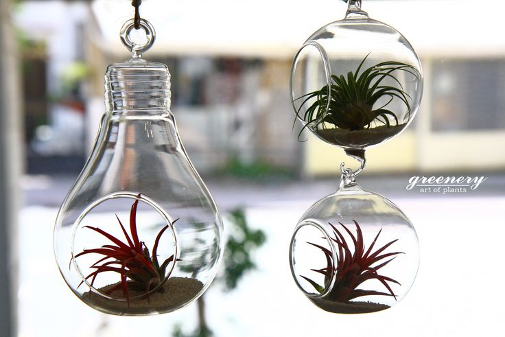 Air plants in hanging terrariums