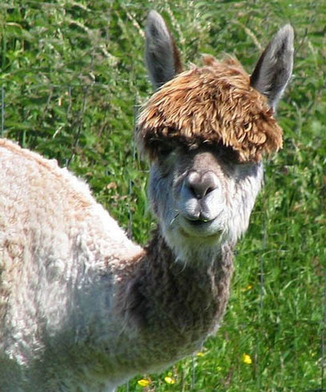 Best Llove Llamas Images On Pinterest Peru Alpacas And - 22 hilarious alpaca hairstyles