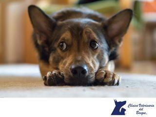Mi perro tiene verrugas. CLÍNICA VETERINARIA DEL BOSQUE. He notado que a mi perro le han comenzado a aparecer verrugas en su cuerpo ¿A qué se debe? Las verrugas salen a raíz de un virus conocido cómo papiloma canino el cual se contagia mediante el contacto con otro perro infectado, mediante la picadura de mosquitos o insectos que lo transmitan o mediante la ingesta de heces de un perro infectado. En Clínica Veterinaria del Bosque contamos con médicos expertos para diagnosticar, tratar a tu…