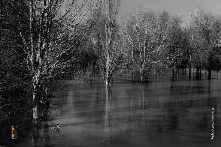 Ducks in Ebro river overflowed. Móra d'Ebre, Catalonia