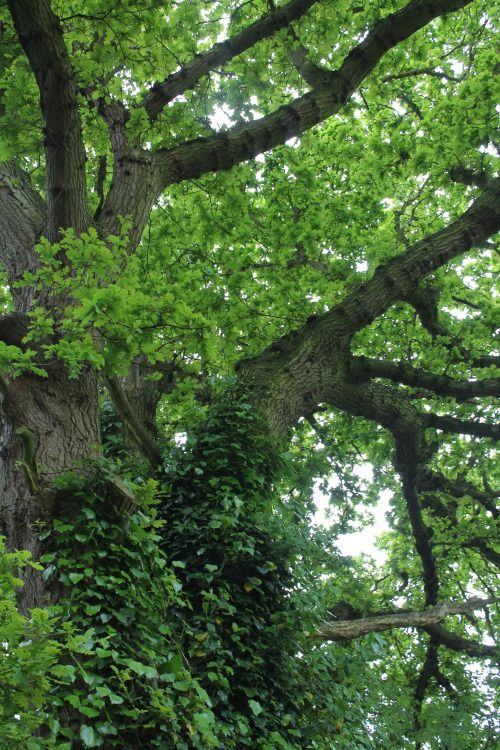 "fyrgenstream: ""  Among the contorted roots of English oaks  """