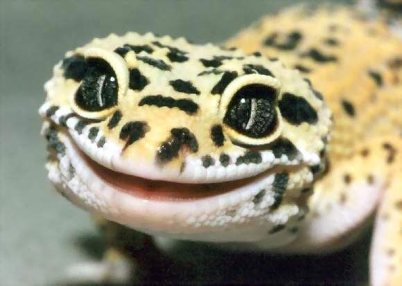 A close up of my adorable leopard gecko, Bart.
