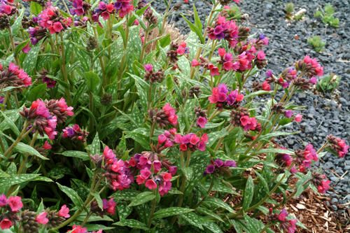 Pulmonaria Raspberry Splash 30cm x 60cm
