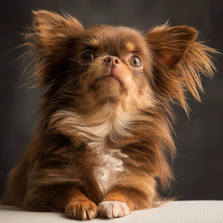 Long hair Chihuahua - I LOVE these dogs!