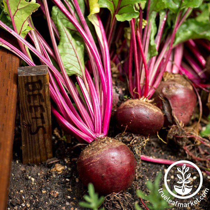 At Mountain Valley Seed Co., find a giant inventory of vegetable seeds, including Red Ace Hybrid Beet seeds that produce delicious lettuce greens and roots to eat.