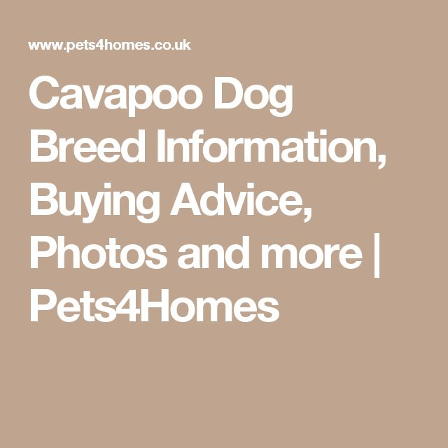 Cavapoo Dog Breed Information, Buying Advice, Photos and more | Pets4Homes