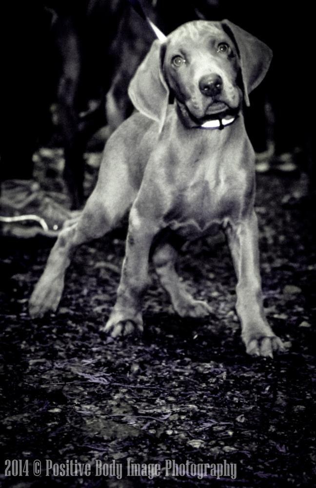 Weimaraner Puppy by Ira Rotenberg