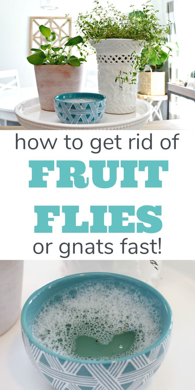 How to get rid of fruit flies or gnats fast! You only need a couple of household ingredients to get rid of and kill those pesky fruit flies and keep them out of your kitchen and bathroom sink drains, away from your plants and out of your wine! via @Mom4Real