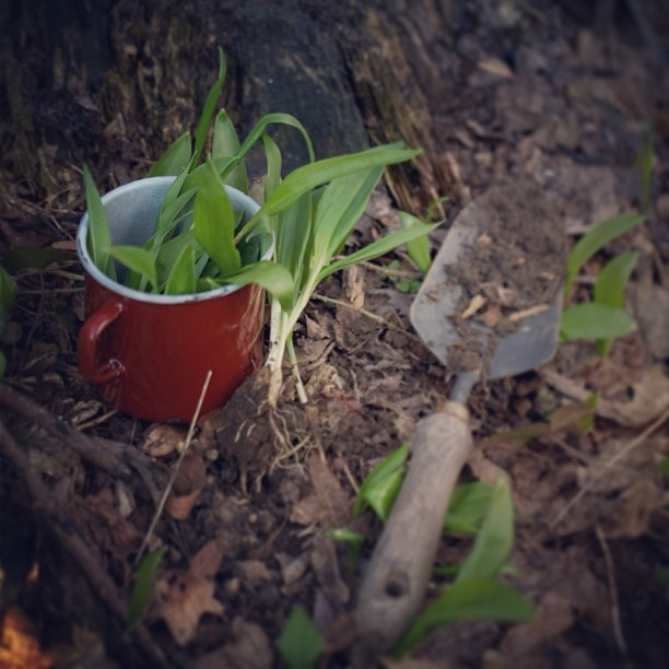 #Bärlauch#wildgarlic - @ziiikocht- #webstagram