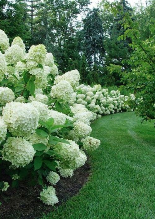 Love Hydrangeas. Here 'paniculata' variety is used as a hedge.