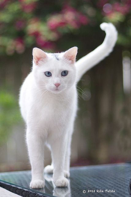 White cat - Meet Mr. Finn - he's a beauty!