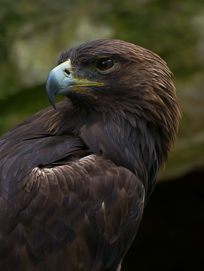 Photo Golden Eagle by Greg Waters on 500px - Follow us on www.reflex-mania.com