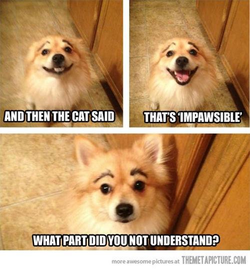 funny dog eyebrows pomeranian