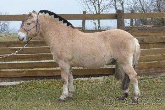 Prodej fjordského koně valach letos 8 let - 1
