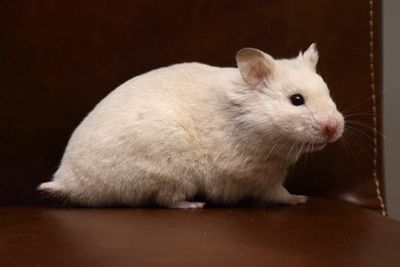 Blond Red eyed Syrian Hamster