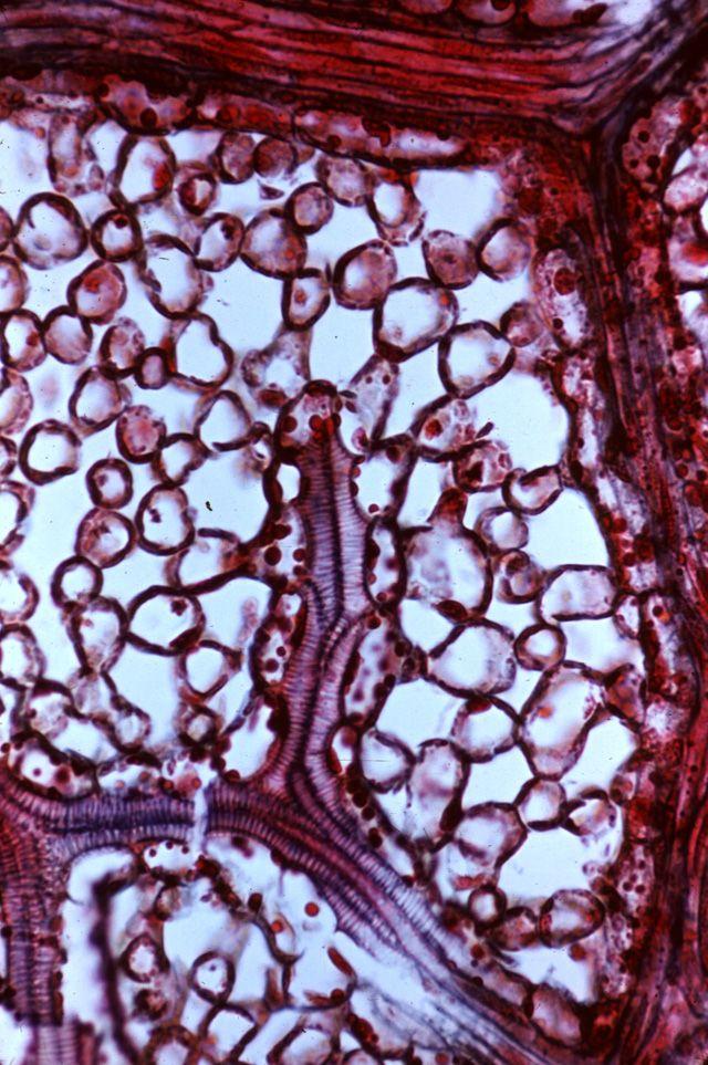 Ligustrum (privet) leaf paradermal section intercepting veins and spongy mesophyll.