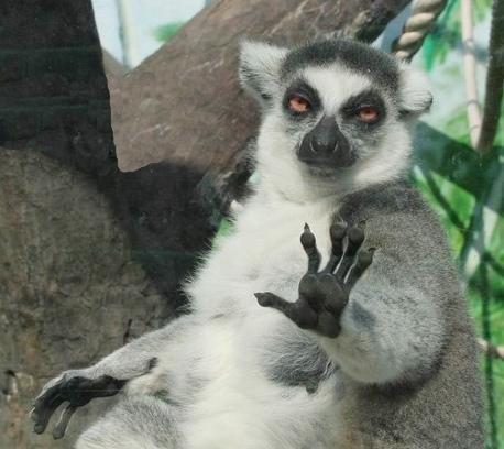 35de0bba64c Stoner Lemur Blank Meme Template