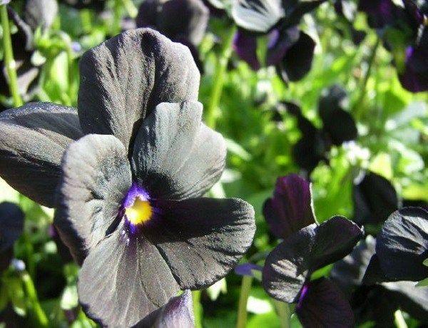 Piante e fiori neri, per dare un tocco di stile al giardino   Guida Giardino