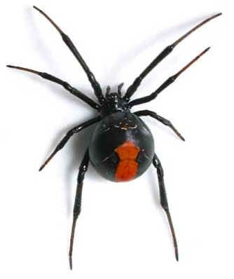 Redback spider usually found around eves of houses or under in or around an item…