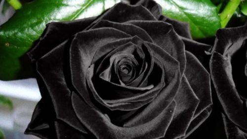 Rosa rara 50 Negro Semillas frescas, planta De Inicio Jardín Exótico Black Rose Semillas De Flores