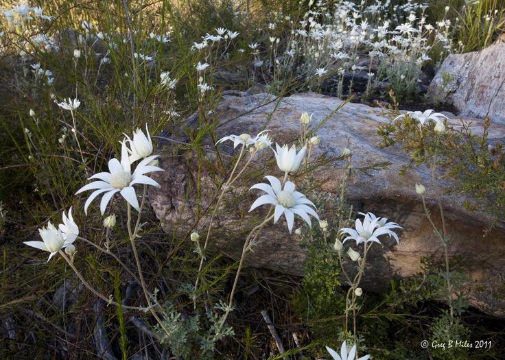 Beautiful Flannel Flowers