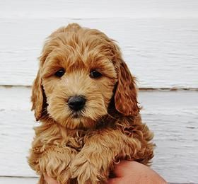 Copper Canyon-Doodles | Red Mini Goldendoodles