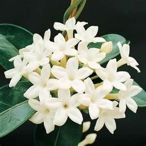 Jasmin flower - This is my all time favorite scent. I love pure jasmine perfume, it is my signature scent.