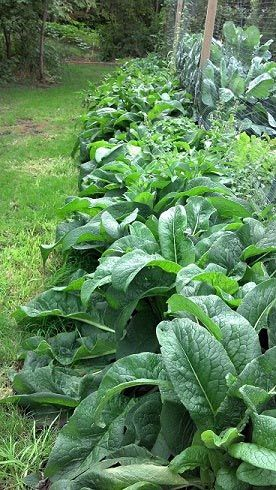 "Using comfrey as fertilizer. From the blog post ""It's full of potassium (3 times that the amount in organic manure), an essential for veggies and other plants to grow and fruit to their full potential. Comfrey is also high in calcium, nitrogen, phosphorous, & potash. The perfect mix for fertilizing your garden organically! """