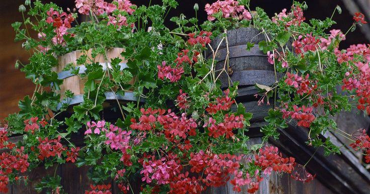 Gerânios-pendentes para o verão. Gerânios-pendentes, também conhecidos como gerânios-hera, trazem folhas ornamentais que se assemelham à hera e são membros do gênero Pelargonium. Eles estão disponíveis em tons de rosa, vermelho, lilás e branco. Gerânios-hera são geralmente plantados em vasos e jardineiras para janela. Embora os gerânios-pendentes estejam relacionados aos ...