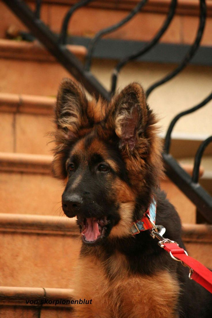 Gsd Puppy Pees When Excited Ideas